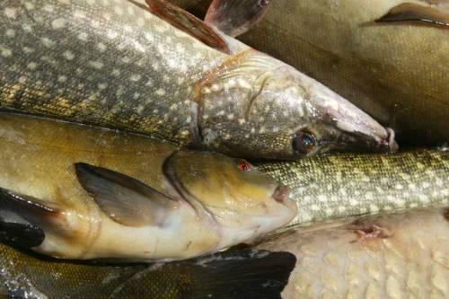 «БелПресса» спросила биолога, ихтиологов и рыбаков-любителей, безопасно ли есть местную рыбу